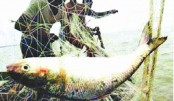 4 fishermen jailed for catching Hilsa at Nalchity