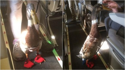 Meet Daniel, the little emotional support duck that is breaking Internet (watch video)