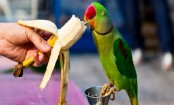 Parrot squawking saucy words exposes man's affair