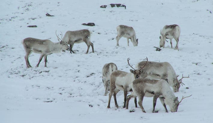 How a rainstorm killed 61,000 reindeer