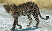 African Leopard inching toward extinction