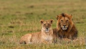 Zimbabwe park officials capture dog-killing lions