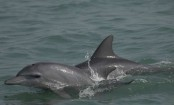 Researchers say Bangladesh dolphins show Bay of Bengal as a realm of evolutionary change