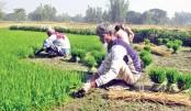 Uprooting rice seedlings