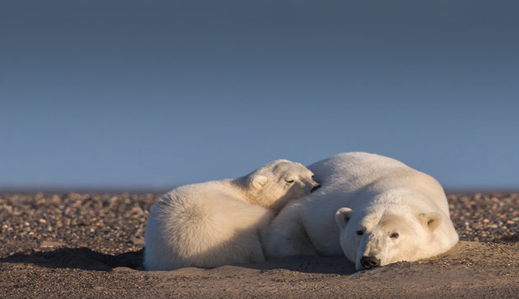 Polar bears in 'no snow'
