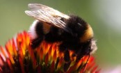 Bumblebee numbers hit  by 'unsettled weather '