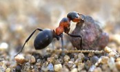New species of 'ant-like' desert bees discovered