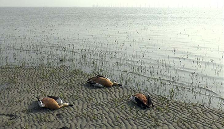 Poaching of migratory birds goes rampant in the island of Bhola
