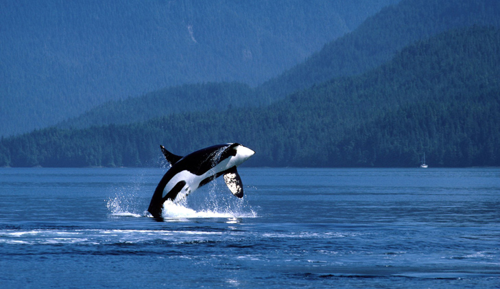 World's oldest known killer whale mourned