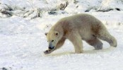 Global warming is top threat to polar bears