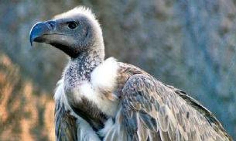 Ban on Ketoprofen use to protect vultures