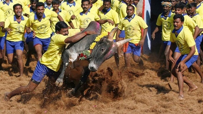 Thousands demand lifting ban on bull-taming sport in India