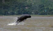 Myanmar's 'smiling' Irrawaddy dolphins face extinction