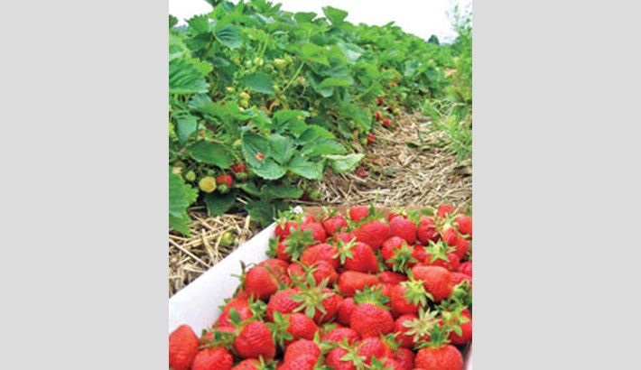 Strawberry cultivation boon for Rajshahi farmers