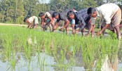 Farmers Eye Bumper Irri-Boro production