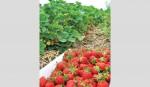 Strawberry cultivation boon for Rajshahi farmers