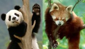 How the panda's 'thumb' evolved twice