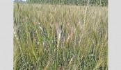 Wheat blast disease