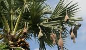 One million palm trees plantation begun to cut lightning toll