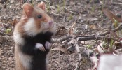 Modern agriculture turns France's wild hamsters into 'crazed cannibals'