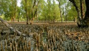 Community involvement in mangrove management makes them sustainable: Study