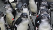 Overfishing set a deadly trap for young Penguins
