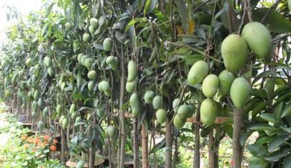 Growers happy with mango flowering in Rangpur