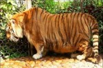 Viral images of obese tigers have a grave story behind them