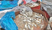 70 tonnes of jatka seized in Chittagong