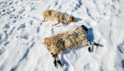 Mongolia herders face dreaded 'dzud' losses: Red Cross