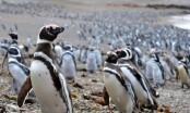 Abundant fish draw 1 million penguins to Argentine peninsula