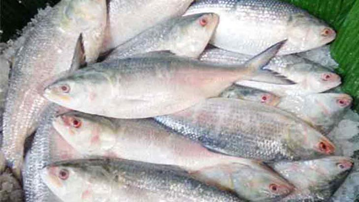 Hilsa abundant during 'off-season'