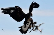 French Army begins training eagles to catch drones