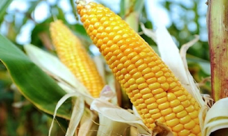 Maize cultivation falls in Satkhira