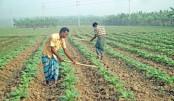 Farmers busy nursing their tobacco field