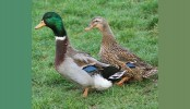 350 ducks poisoned to death in Bagerhat
