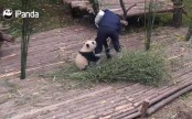 Clingy panda video racks up 163m hits online (Video)