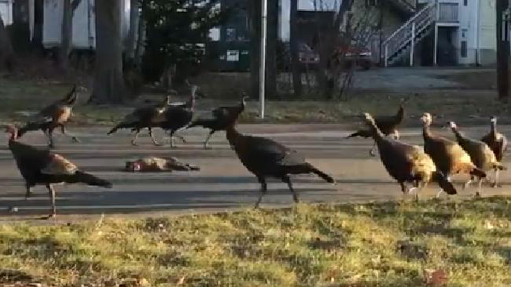 Caught on video: A flock of turkeys continually circling a dead cat