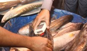 Formalin scare: Tripura stops fish import from Bangladesh