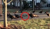 Turkeys mysteriously circling dead cat goes viral (Video)