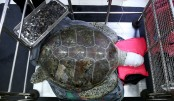 More than 900 coins removed from turtle's stomach in Thailand