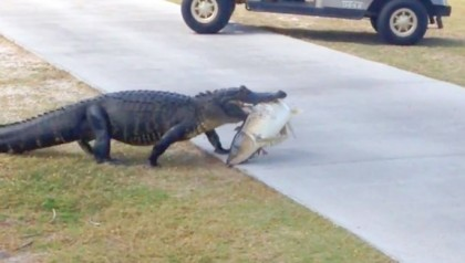 Alligator Walks Across Florida Golf Course With Huge Fish Video 2017 03 07