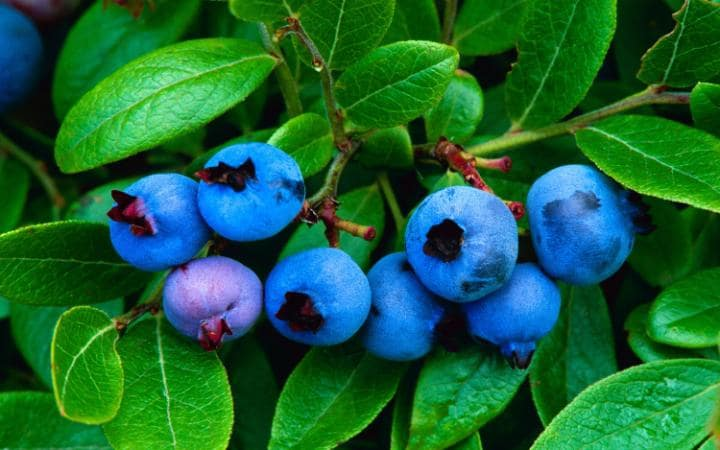 Blueberries may improve brain function in elderly