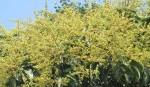 Mango farmers eye bumper yield in Rajshahi, C'nawabganj