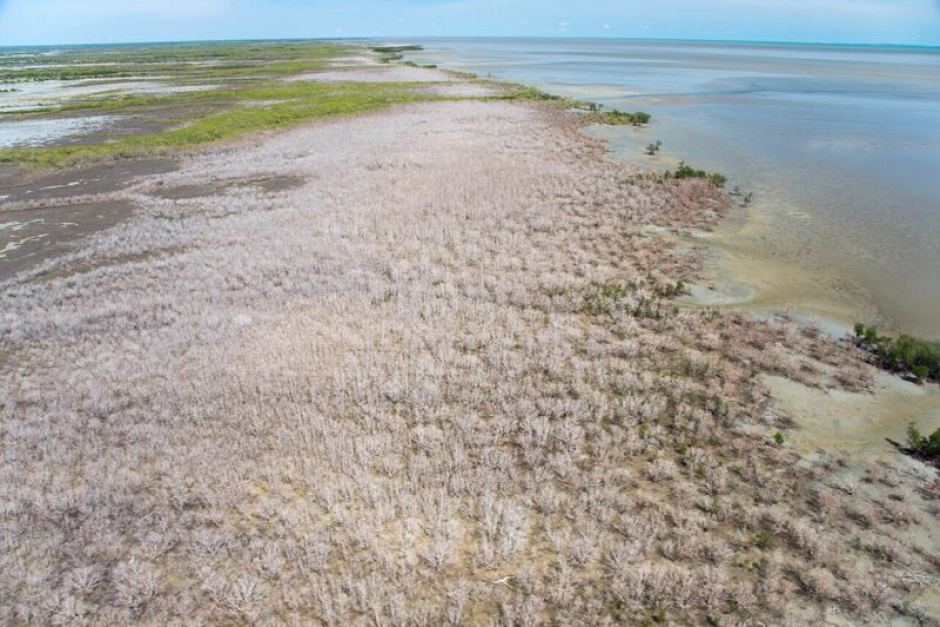 Huge swathe of Australian mangroves 'die of thirst'