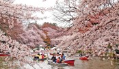 Where to view cherry blossoms in Japan
