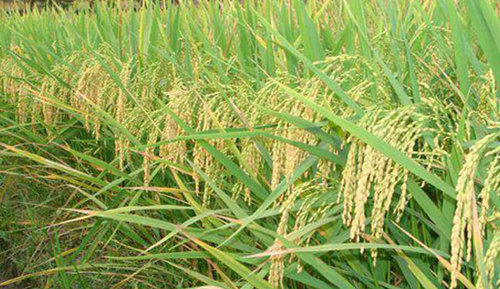 Experts for expanded cultivation of zinc-enriched rice