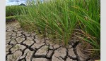 Cultivation of drought-tolerant crops stressed