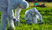 Popular weedkiller doesn't cause cancer: EU agency