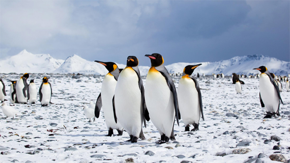 Antarctic penguin numbers double previous estimates: scientists